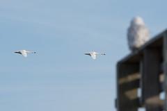 Two Tundra Swans with Owl (Bill VanderMolen) Tags: snowyowl owl fishpointswa michigan