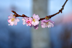 November cherry blossoms (Liwesta) Tags: blossoms blooming flowers branch leaves pink november autumn