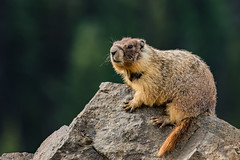 Yellow Bellied Marmot-1849.jpg (donnatopham) Tags: manningpark marmot yellowbellied