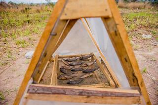 Smoked fish under the solar drier, Zambia. Photo by Chosa Mweemba.