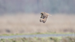Short-eared Owl (Asio flammeus) (Tony Varela Photography) Tags: asioflammeus owl photographertonyvarela seow shortearedowl