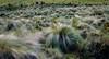 Como pinceladas de pasto (RonaldHV) Tags: colombia cauca puracé páramo paramount montaña mountain cold frío national park parque natural pasto hierba yerba grass parquenacionalnaturalpuracé