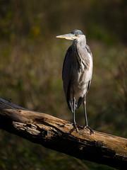 Heron (Rob Blight) Tags: greyheron heron perch perched wild wildlife nature outdoors waterbird bird river fauna d850 nikond850 70200 70200mm 28 f28 f28e fl branch log wood graureiher reiher animal