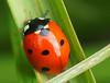 jesienna biedronka (arjuna_zbycho) Tags: biedronka maikäfer marienkäfer ladybird coccinellidae ladybirds coccinella magnifica ladybugs ladybirdbeetles ladybeetles
