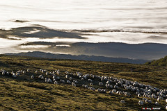 Últimos días (Jabi Artaraz) Tags: jabiartaraz jartaraz zb euskoflickr gorbea rebaño sheep ovejas bruma nature