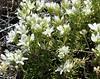 Plants_OB_156 (NRCS Montana) Tags: arenaria hookeri hookers sandwort plants