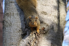 178/365/3465 (December 6, 2017) - Autumn Squirrels in Ann Arbor at the University of Michigan (December 6th, 2017)