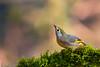 Red Billed Leiothrix (Goutam KP) Tags: sattal redbilledleiothrix indianbirds redbill cutebirds smallbird ngc natgeo geo nationalgeographic