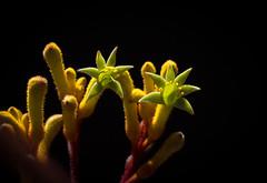 Anigozanthos humilis - Common Catspaw (loveexploring) Tags: anigozanthos anigozanthoshumilis australia australiannativeplant commoncatspaw haemodoraceae kangaroopaw southwestaustralia backlight blackbackground depthoffield flower wildflower
