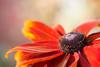 Sunny Rudbeckia (oandrews) Tags: autumn autumnshades canon canon70d canonuk flora flower garden nature outdoors petals plant plants rudbeckia rudbeckiahirta