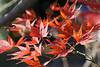 Erable rouge (Rene H-D) Tags: automne matin novembre plantes feuilles rosée naturalmente acer erable macro