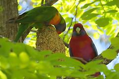 Australian King Parrots (Karlov1) Tags: king parrot