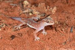 Beaded Gecko (Lucasium damaeum) (shaneblackfnq) Tags: beaded gecko lucasium damaeum shaneblack lizard reptile pernatty lagoon south australia outback arid