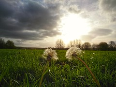 Looking to the sun. (Sharon B Mott) Tags: sky sunlight clouds dandelionclocks dandelions plants wildflowers nature autumn november seeds landscape
