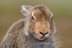 Yawning Hare Portrait (benstaceyphotography) Tags: scottish wildlife furry fur funny lepuseuropaeus wild caingorms animal leveret yawn yawning nature naturephotography mammal eyes