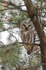 ''La minuscule!'' Petite Nyctale-Aegolius acadicus (pascaleforest) Tags: oiseau bird animal passion nikon nature maizeret québec canada wild wildlife faune owl hibou arbgre wood reagrd