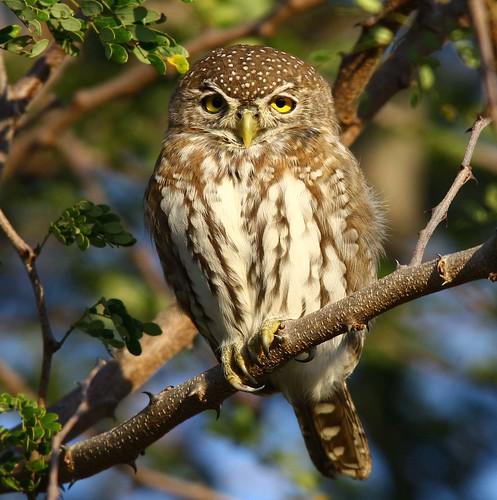 Pearl-spotted_Owlet , Kruger National Park