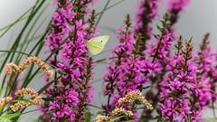 Souvenir d'été - 4070 (YᗩSᗰIᘉᗴ HᗴᘉS +10 000 000 thx❀) Tags: butterfly remember summer season papillon fleur flora nature été hensyasmine yasminehens