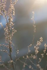 DSC_2004 (Birdiebirdbrain) Tags: nature naturephotography naturfoto natur plant plants winter frost rimfrost fredericia fredericiaramparts fredericiavold danmark denmark bokeh macro morninglight vinter nikon nikond3300 tokina tokina100mmf28