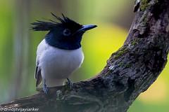 Indian paradise flycatcher (Terpsiphone paradisi) (Vidjit Vijaysanker) Tags: indianparadiseflycatcher ngc ayinkalam tavanur flycatcher whitebird paradiseflycatcher