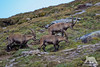 Alpine Ibex (fascinationwildlife) Tags: animal mammal wild wildlife spring alps alpine alpen ibex ram young herd nature natur national park hohe tauern grosglockner mountains austria österreich kärnten rock europe steinbock