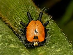 Schmetterlingsraupe, Dynastor darius, Satyrinae, Nymphalidae (Eerika Schulz) Tags: schmetterlingsraupe dynastor darius satyrinae nymphalidae eerika schulz