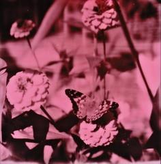 pink zinnias + moth (buttercup caren) Tags: polaroid impossibleproject filmphotography slr680 duochrome pinkduochrome pinkandblack zinnia moth nature