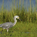 Snowy Egret x Tricolored Heron hybrid (Lightskipper) Tags: