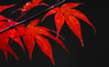 A Powerful Glow (AnyMotion) Tags: japanesemaple fächerahorn acerpalmatum leaf leaves blatt blätter foliage autumncolours herbstfärbung tree nature baum natur cemetery 2016 frankfurt anymotion maincemetery hauptfriedhof hessen germany 7d2 canoneos7dmarkii colours colors farben red rot autumn fall herbst automne otoño ngc npc