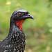 Dusky-legged Guan (Cristofer Martins) Tags: duskyleggedguan jacuaçu penelopeobscura nature wildlife birds bird birdwatching brazilianbirds vilaflor