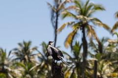 Comorant (Bruce Poole) Tags: 2017 brucesspace india kerala poover island puvar പൂവാർ trivandrum bruce poole lagoon neyyar comorant indianshag dryingfeathers canon wildlife ornithology twitching birdwatching