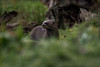 Giant  River Otter (Pteronura brasiliensis) (neil 36) Tags: bokeh yorkshire wildlife park doncaster animal grass reeds logs giant river otter longest member mustelidae south american carnivorous mammal gregarious especially noisy social