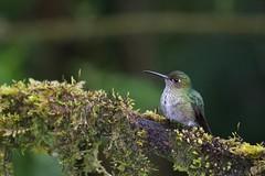 Many-spotted Hummingbird (kidbirder) Tags: taphrospilushypostictus