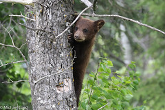 Black Bear Cub (mobull_98) Tags: blackbearcub cub bear