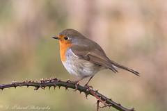 Robin - Getting ready for his Christmas Card photo shoot !! (Dougie Edmond) Tags: robin bird birds redbreast nature wildlife christmas card winter sunshine red breast
