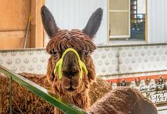 Star Wars Llama (Wes Iversen) Tags: davisburg fencefriday hff michigan nikkor18300mm starwars animals fairs farmanimals fence fences mammals oaklandcountyfair llamas