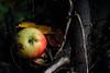 Still life (III) (dididumm) Tags: stilllife autumn fall autumnal dark harvesttime harvest apple yellow red rot gelb apfel ernte erntezeit dunkel herbstlich herbst stilleben stillleben
