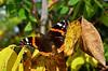 Admirálislepke /Vanessa atalanta (A. Meli) Tags: vanessaatalanta admirálislepke butterfly bug schmetterling szeptember september herbst autumn ősz admiral greatphotographers