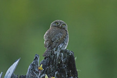 Northern Pygmy-Owl (ninjabirder) Tags: july2016 pnw2016 northernpygmyowl