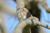 Savannah Sparrow (Tommy Quarles) Tags: savannah sparrow spindletop fayette county lexington kentucky ky canon 7d mark ii bird