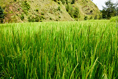 Village of Balthali, Nepal. (RViana) Tags: nepali nepalese nepalês nepalesa southasia 尼泊爾 尼泊尔 نيبال 네팔 नेपाल ネパール נפאל непал bhaltali baltali khopasi kopasi ricefield camposdearroz arrozais beacheslandscapes