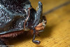 photo-202627.jpg (GeeC) Tags: animalia arthropoda beetles cambodia coconutrhinocerus coleoptera dynastinae insecta kohkongprovince nature oryctes oryctesrhinoceros scarabbeetles scarabaeidae scarabaeoidea tatai