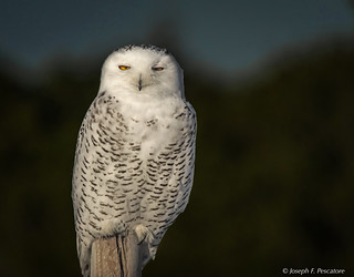 Snowy Owl (Bubo scandiacus) - Winter visitor to Island Beach State Park, New Jersey