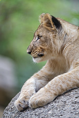 Profile of a posing lion cub (Tambako the Jaguar) Tags: lion big wild cat cub young female lioness lying posing paws stone rock portrai calm basel zoo zolli nikon d5 switzerland