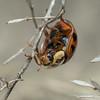 Ladybug 3 (strjustin) Tags: ladybug ladybird insect beetle bug beautiful macro