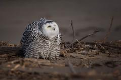 Owl on the defense (Mike Bader) Tags: raptor birds birdsofprey birdphotography avian avianphotography owls snowyowls lakeerie greatlakes