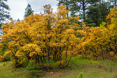 cottonwoods - Animas River valley - San Juan Nat. Forest, Colorado, USA (Russell Scott Images) Tags: autumn fall colours animasrivervalley sanjuannationalforest heritage durangosilvertonnarrowgaugerailroad trainline colorado usa russellscottimages