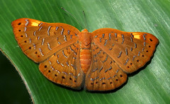 """Emesis cerea (hippobosca) Tags: butterfly peru riodinidae butterflies lepidoptera insect macro """"emesis cerea"""""""