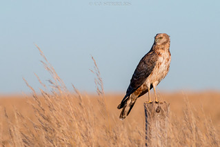 Spotted Harrier (Immature)