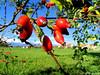 Le gratte-cul :-) (jean-daniel david) Tags: nature rouge vert verdure ciel bokeh buisson pelouse champ fruit eglantier village